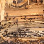 If you knew you had carpenter ants you would act immediately. Ask about our treatments to kill them.